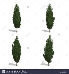 ciprus fák, elszigetelt fehér háttérrel.  Stock fotó