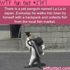 La La, the cute pet penguin in Japan - WTF fun facts   ITS TRUE I looked it up!