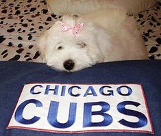 What's all the excitement? Coton De Tulear Puppy, Chicago Cubs Fans, Kinds Of Dogs, Puppy Pictures, Photo Galleries, Puppies, City, Gallery, Animals