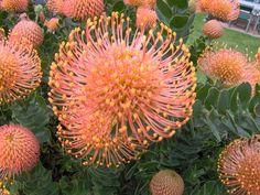Leucospermum cordifolium suitable indigenous landscape plant