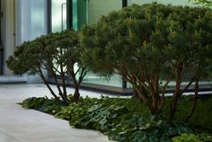 Pine and ginger philip nixon design / residential garden, islington