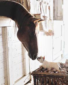 French Bulldog Puppy meets a Horse, on Instagram #buldog
