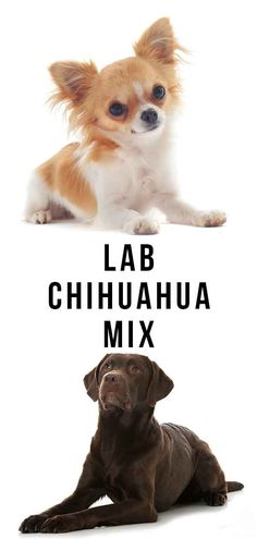 lab chihuahua mix Chihuahua Mix Puppies, Chihuahua Rescue, Labrador Mix, Labrador Retriever, Miniature Dogs, Dog Mixes, Different Dogs, Purebred Dogs, Labradors