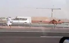 Video: Man filmed chasing runaway camel on motorway in Abu Dhabi - Telegraph