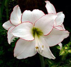 Lotus flower meaning symbolism factsg 38402400 pixels amaryllis picotee bright white with vivid red edge mightylinksfo