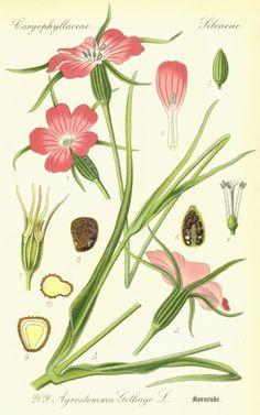 Caryophyllaceae Agrostemma githago
