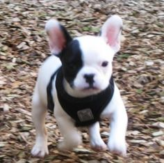 frenchton chat sites Find frenchton puppies in canada | visit kijiji classifieds to buy, sell, or trade almost anything new and used items if you have snap chat add $1,85000.