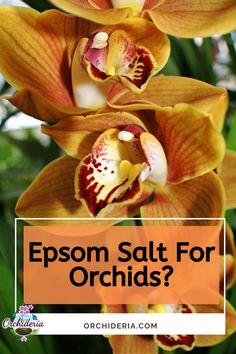 Fertilizer Supplements: Is Epsom Salt Good for Orchids? Orchids In Water, Indoor Orchids, Orchids Garden, Garden Plants, House Plants, Orchid Roots, Orchid Leaves, Growing Orchids, Growing Plants