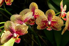 Beautiful Phalaenopsis Orchid!