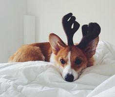 corgi, christmas | Tumblr