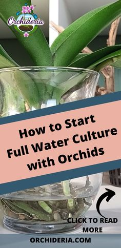 Transferring your orchid to water culture can be a solution to minimize problems down the line when growing orchids. For new orchid growers, it can be a good solution if (and only if) you follow the guidelines.#orchidcare#orchids#fullwaterculture#orchidcareforbeginners Hydroponic Gardening, Indoor Gardening, Hydroponics, Indoor Orchids, Indoor Plants, Growing Orchids, Growing Plants, Build A Greenhouse, House Plant Care