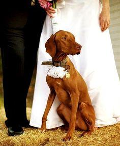 WOOF :) bride groom and vizsla Cream Wedding, Dog Wedding, Wedding Bride, Wedding Bells, Bride Groom, Wedding Ceremony, Wedding Images, Wedding Pics, Wedding Ideas