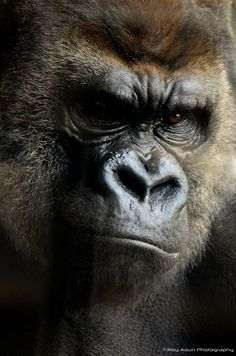 what a face Los Primates, Gorillas In The Mist, Animals And Pets, Cute Animals, Silverback Gorilla, Man Beast, Mountain Gorilla, Planet Of The Apes, Gorilla Tattoo
