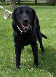Laura is a female black lab for adoption through Golden Retriever Rescue Resource, serving Ohio, Michigan and Indiana. Golden Retriever Rescue, Flat Coated Retriever, Pet Adoption, Indiana, Ohio, Michigan, Lab, Female, Pets