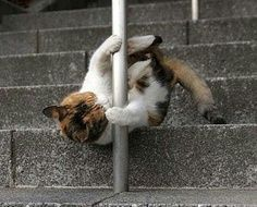 Muffin is determined to learn pole dancing. #poledancingfitness