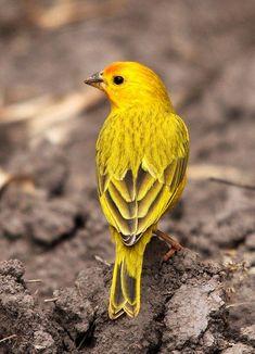 Canário-da-terra - (Saffron finch) - (Sicalis flaveola) by , via Flickr - #birds