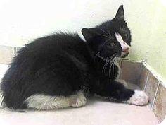 Brooklyn, NY - Domestic Shorthair. Meet SAPPHIRE, a kitten for adoption. http://www.adoptapet.com/pet/11495175-brooklyn-new-york-kitten