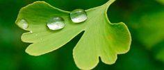 Ginkgo Biloba (Mabet Ağacı) Nedir? Nasıl Kullanılır? Faydaları ve Yan Etkileri Nelerdir? | Bilgihanem