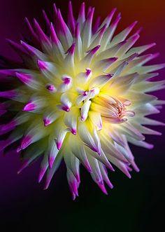"""Dahlia Deze plant is geschikt voor de ondersteuning van een """"Solitairpin"""" van http:// www.detuinfee.nl De """"Solitairpin"""" is verkrijgbaar in 4 maten."""
