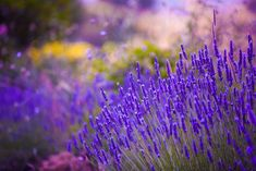 Photo about Garden flowers Lavendar colorful background in France. Image of lavandula, botanical, flower - 47622970 Lavender Flowers, Purple Flowers, Flowers Garden, Lavender Hidcote, Lavandula Angustifolia, Home Landscaping, Photoshop Effects, Garden Seeds, Flower Seeds