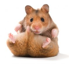 Here, we will go over the five most common types of hamsters found in pet stores:  Chinese, Dwarf Campbell Russian, Dwarf Winter White Russian, Roborovski Dwarf, and Syrian.