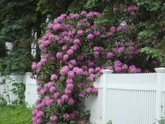Rhododendren on front fence