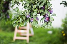 Plum (by Kristine May.)....