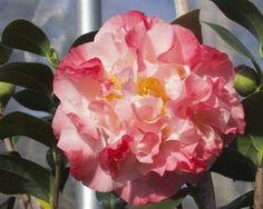 Nuccio's Jewel Camellia japonica