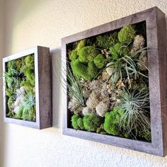 Framed Vertical Wall Garden with Three Air Plants (Tillandsia) and Reindeer Moss with Lichen 10x10 inches