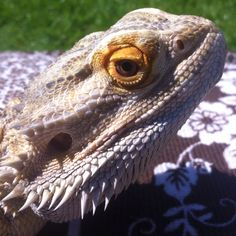 I love this beardie picture!