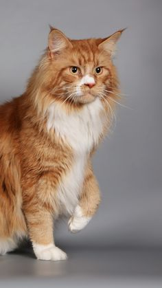 cat, fluffy, thick, maine coon http://www.mainecoonguide.com/male-vs-female-maine-coons/