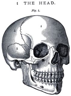 1. Frontal bone 2. Parietal bone 3. Temporal bone 6. Maxilla  7. Zygomatic bone 9. Nasal bone 10. Mandible