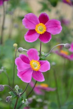 15 Fall Flowers That'll Spruce Up Your Garden This Autumn Japanese Anemone Flower Shade Flowers, Purple Flowers, Colorful Flowers, Beautiful Flowers, Exotic Flowers, Yellow Roses, Fresh Flowers, Pink Roses, Flower Images