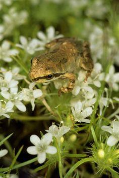 pacific chorus frogs. <3 them