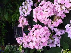Hydrangea pink fireworks