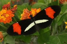 The same gene that enables tropical butterflies to mimic each other's bright and colorful patterning also caused British moths to turn black amid the grime of the industrial revolution, researchers have found.