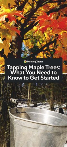 Tapping Maple Trees: What You Need to Know to Get Started Tapping maple trees doesn't have to be hard. With the right supplies and knowledge, you can have gallons of homemade maple syrup this year. Maple Syrup Tree, Red Maple Tree, Tapping Maple Trees, Homemade Maple Syrup, Glazed Walnuts, Vegetables For Babies, Walnut Recipes, How To Get