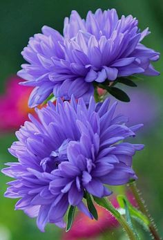 Advice For Growing Beautiful Flowers, Produce And Other Plants - Useful Garden Ideas and Tips Types Of Flowers, All Flowers, Exotic Flowers, Amazing Flowers, Purple Flowers, Beautiful Flowers, Purple Dahlia, Periwinkle, Hummingbirds