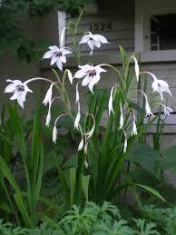 gladiolus murielae - Google Search