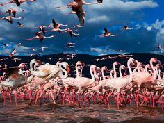 A 2 h de route au N de Nairobi - Kenya, les eaux peu profondes des lacs Elmenteita, Bogoria et de Nakuru se combinent pour couvrir 122 miles carrés dans la vallée du Grand Rift. 13 espèces d'oiseaux endémiques menacées, jusqu'à 4 millions de flamants nains, grands pélicans blancs, spatules, grèbes et cigognes, > 100 espèces d'oiseaux migrateurs nidifient de Novembre à Mars. Les sources chaudes offrent les algues vertes pour les nourrir. Zèbres, rhinocéros noirs, guépards, lions et girafes