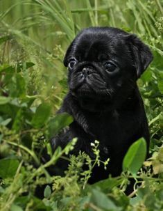 Cute Black Pug Puppy #Pug