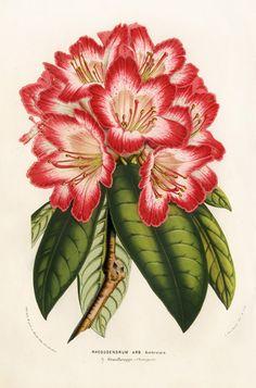 Louis van Houtte Flore des Serres Antique Botanical Prints 1858