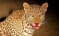 dangerous leopard in delhi zoo Wildlife Photography, Animal Photography, Sneaky Animals, Jaguar Panther, Forest Department, Cheetahs, Safari Animals, Wild Animals, African Safari