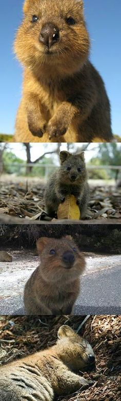 The happiest animal in the world: the quokka...ALRIGHT. SOMEONE NEEDS TO GET ME ONE OF THESE. OMG.