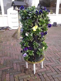 Zo zien winter violen re uit als ze net zijn ingepland.