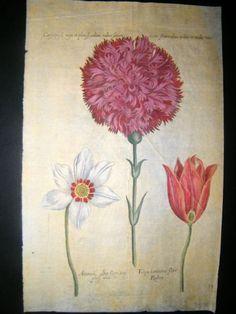 de Bry Florilegium Renovatum 1641 Antique Botanical Print. Anemone, Tulip | Albion Prints
