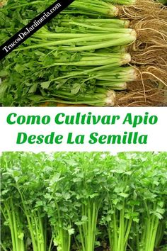 Types of Houseplant Bugs and Methods to Check Their Infestation Como Cultivar Apio