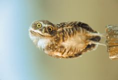 I normally do not like pet birds, but I would so cuddle the crap out of a pet owl.