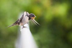 Dühös madárka