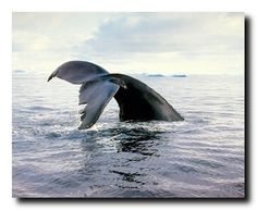 This piece of artwork reflects the ultimate definition of excellence. This poster captures the image of beautiful Humpback Whale raises the majority of its body out of the water straight back and up into the air is sure to be an admired accent in your home or office. This poster is made up of using high quality gloss finish paper with archival quality ink which ensures long lasting beauty of the product.